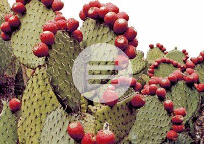 Bluthochdruck & Blutzuckerspiegel – Naturheilmittel Nopal-Kaktus