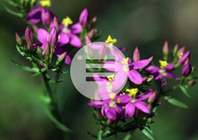 Verdauungsprobleme & Übelkeit – Heilpflanzentipp – Tausendgüldenkraut
