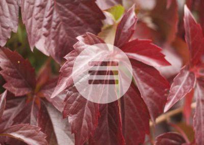 Weinlaub – ein wertvolles Antioxidans