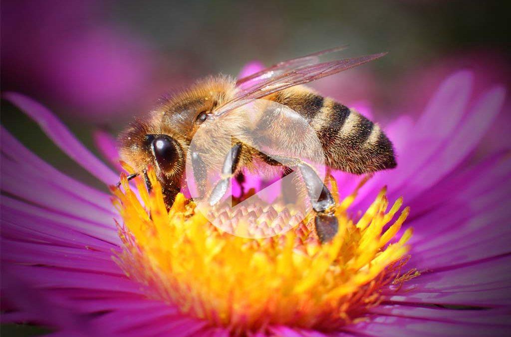 Bienengift: Kleine Helden für unsere Gesundheit